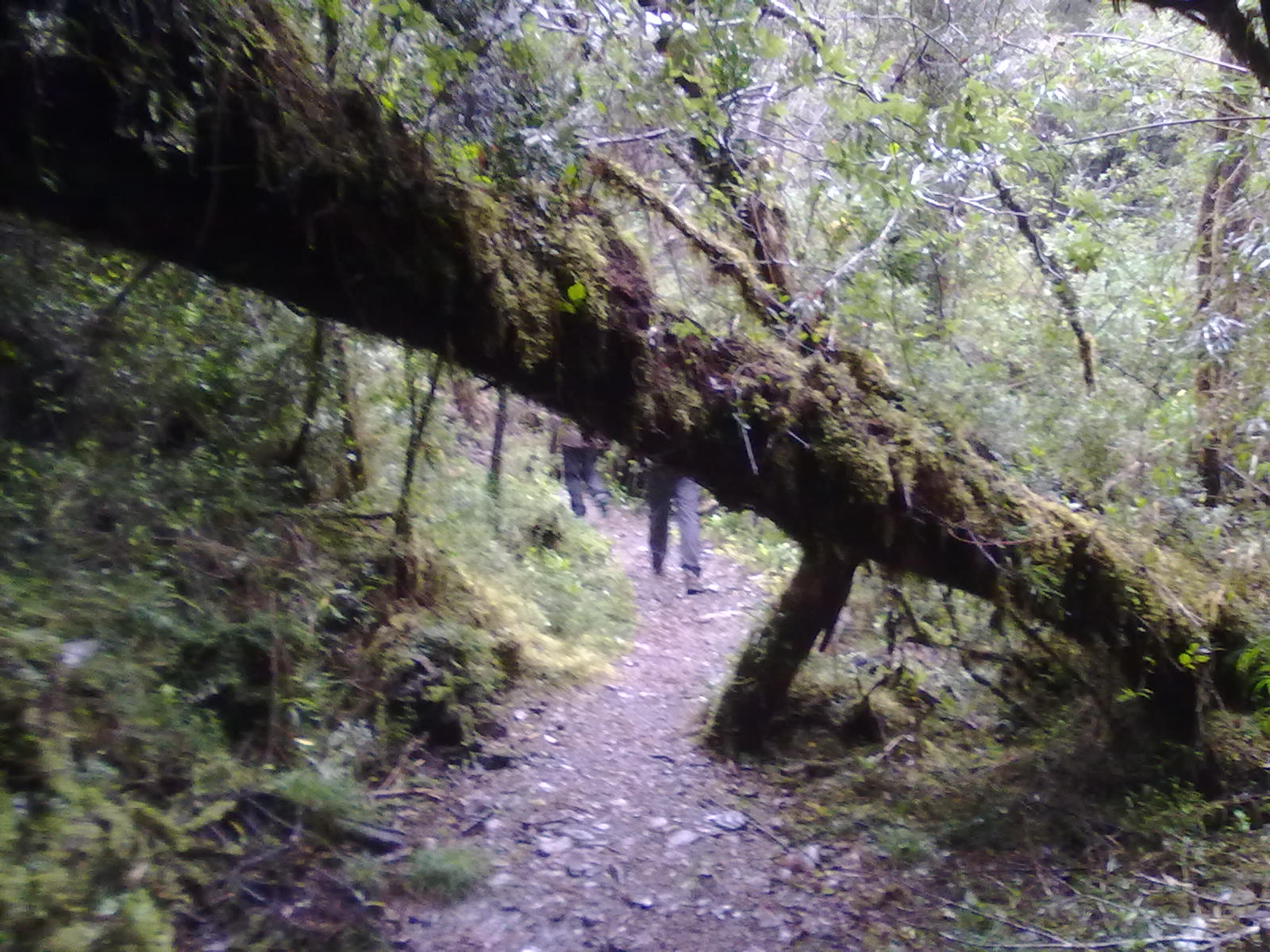 Tour photo of TREKKING  NATIONAL  PARK  ALERCE  ANDINO