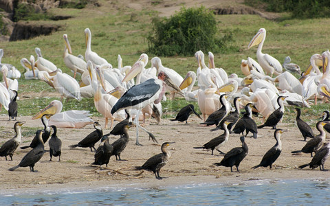 Tour photo of BIRDS OF UGANDA(14 DAYS)